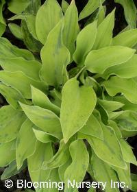 Hosta 'Birchwood Parky's Gold'
