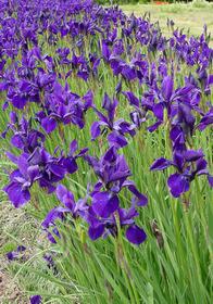 Iris sibirica 'Bennerup Blue'