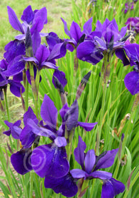 Iris sibirica 'Cleve Dodge'