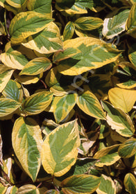 Cornus sericea 'Hedgerow's Gold'