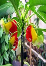 Impatiens niamniamensis 'Golden Congo Cockatoo'