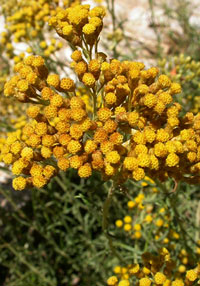 Helichrysum italicum 'Dwarf'