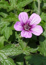 Geranium procurrens x lambertii 'Sue Crug'