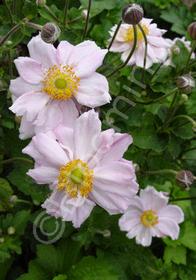 Anemone x hybrida 'Lady Gilmore'