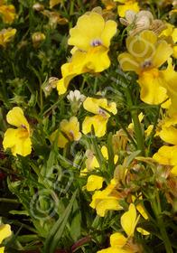Nemesia hybrida 'Serengeti Yellow'