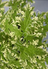 Pelargonium citrosum 'Frosted'