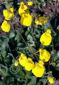 Calceolaria biflora 'Goldcap'