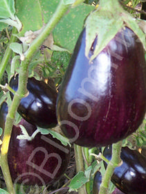 Solanum melongena 'Imperial Black Beauty'