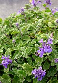 Nepeta racemosa 'Little Titch'