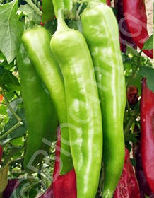 Capsicum annuum 'Nu Mex Big Jim'