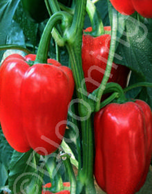Capsicum annuum 'King of the North'