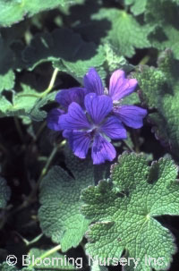 Geranium renardii 'Phillipe Vapelle'