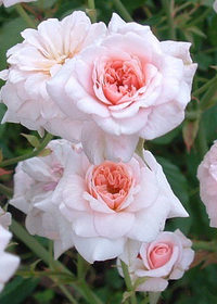 Rosa 'Cecile Brunner' Everblooming Climber