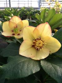 Helleborus x h Winter Jewels® Golden Sunrise