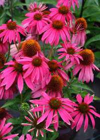 Echinacea 'Red Knee High'