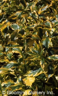 Duranta erecta 'Golden Edge'