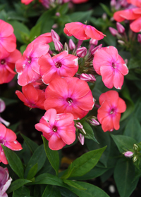 Phlox paniculata Flame 'Coral Red'