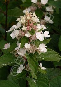 Hydrangea paniculata 'Tardiva'