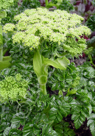 Angelica pachycarpa