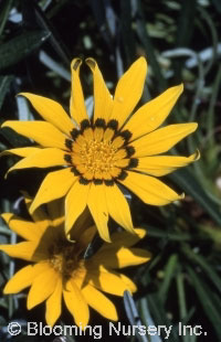 Gazania linearis 'Colorado Gold'