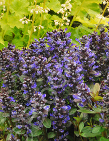 Ajuga reptans 'Blueberry Muffin'