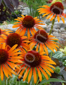 Echinacea purpurea 'Flame Thrower'