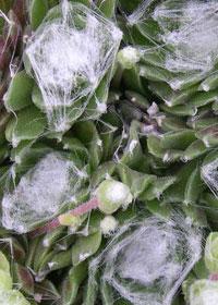 Sempervivum arachnoideum 'Cebenense'