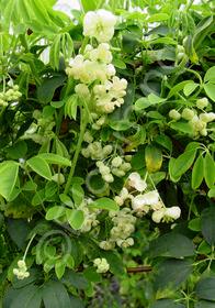 Akebia quinata 'Albiflorus'