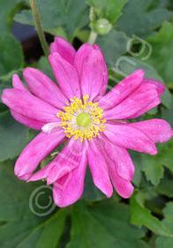 Anemone x hybrida 'Bodnant Burgundy'