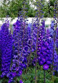 Delphinium New Millennium 'Pagan Purples'