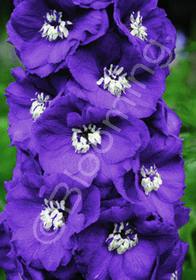 Delphinium New Millennium 'Purple Passion'