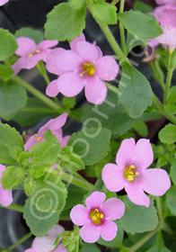 Bacopa 'Dark Pink'
