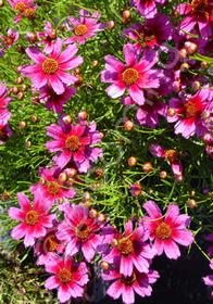 Coreopsis rosea 'Heaven's Gate'