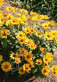 Heliopsis 'Tuscan Sun'