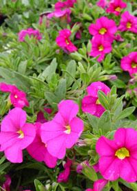 Calibrachoa 'Mini Famous Pink'