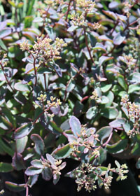Sedum 'Plum Perfection'