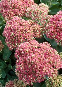 Sedum 'Pool Party'