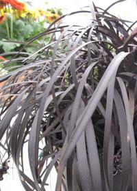 Ophiopogon planiscapus 'Black Beard'