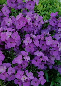 Erysimum 'Winter Joy'