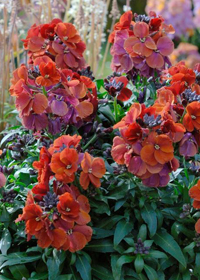Erysimum 'Winter Rouge'
