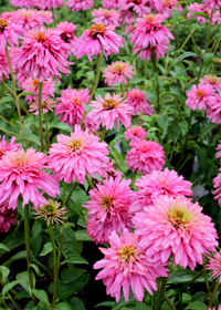 Echinacea 'Transformation'