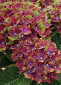 Hydrangea macrophylla 'Pistachio'