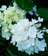 Hydrangea paniculata 'Sweet Summer'