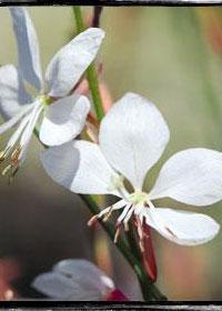 Gaura lindheimeri 'Belleza White Evolution'