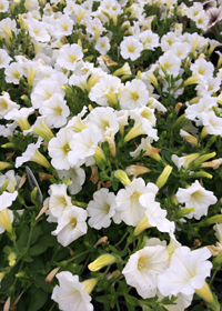 Petunia  'Littletunia® White Grace'