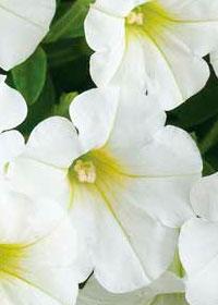 Petunia Littletunia 'White Grace'