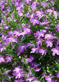 Lobelia erinus 'Waterfall Light Lavender'