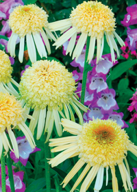 Echinacea 'Secret Joy'