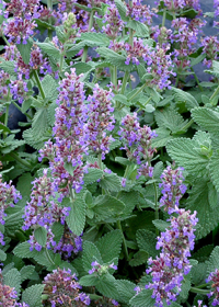 Nepeta 'Purple Haze'