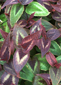 Persicaria 'Dragons Eye'